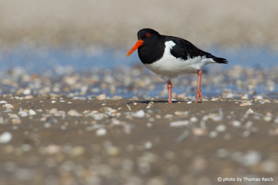 Eurasian Oystercatcher at low tide