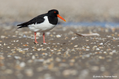 Eurasian Oystercatcher at the beach