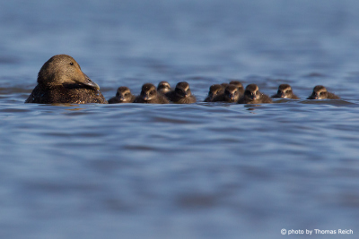 Common Eider swimming with chicks