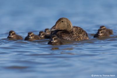 Common Eider female with chicks