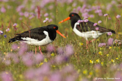 Eurasian Oystercatcher male and female