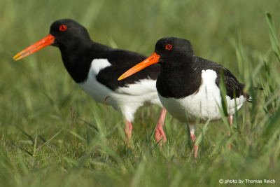 Eurasian Oystercatcher couple