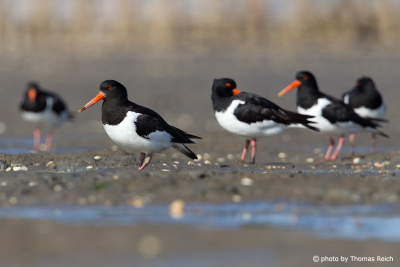 Eurasian Oystercatcher in Germany