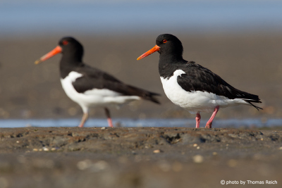 Couple of Eurasian Oystercatchers