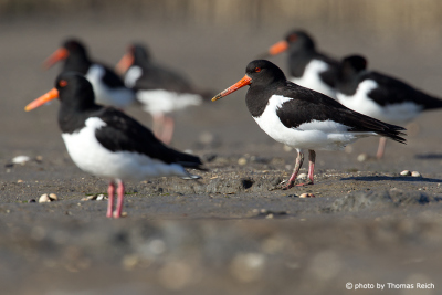 Group of Eurasian Oystercatchers at the beach
