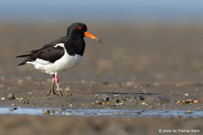 Eurasian Oystercatcher at the coast
