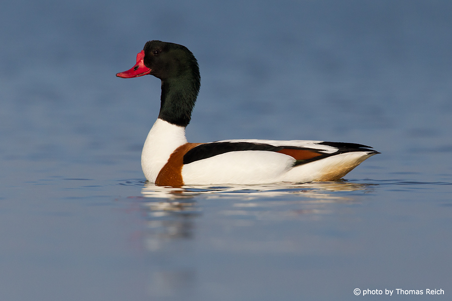 Common Shelduck male in the lake