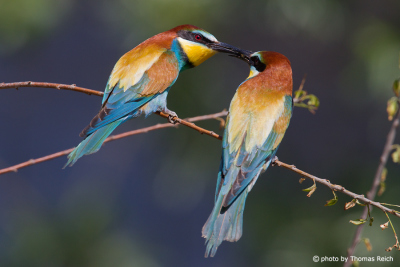 European Bee-eater male and female