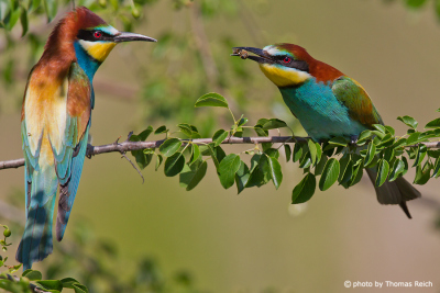 European Bee-eater hunted insect