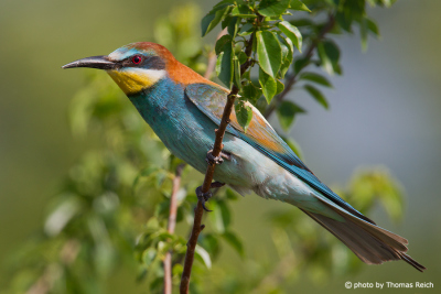 European Bee-eater sitting on branch