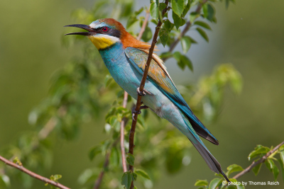 European Bee-eater call