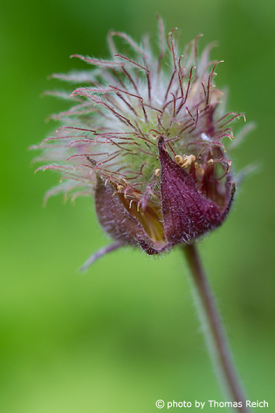Water Avens appearance