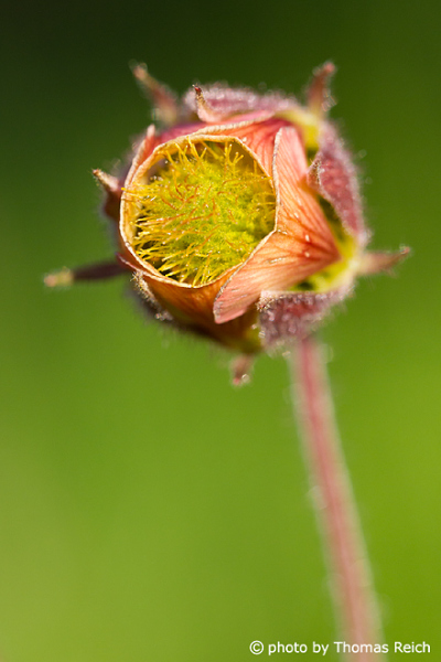 Water Avens blossom