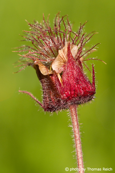 Water Avens plant