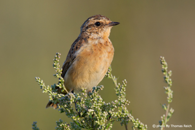 Whinchat female portrait