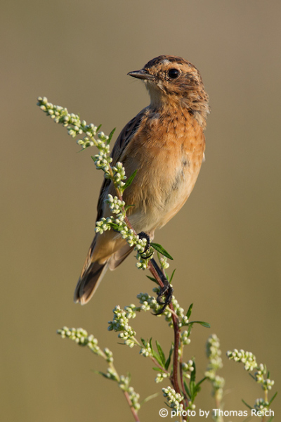 Female Whinchat