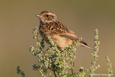 Whinchat appearance