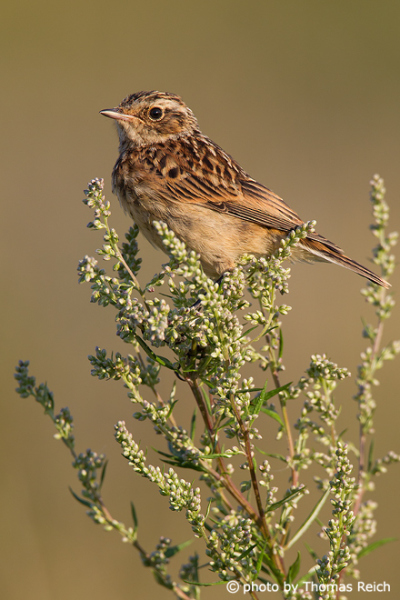 Whinchat song
