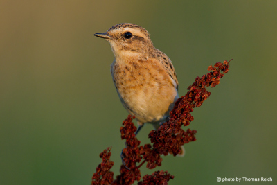 Whinchat head