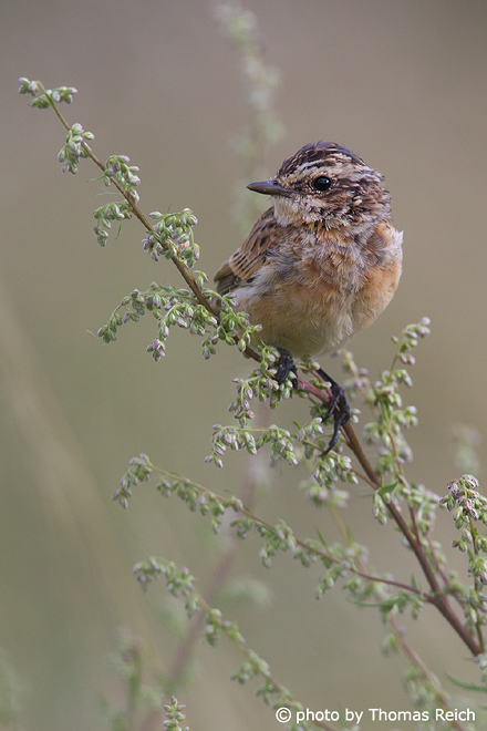 Whinchat voice