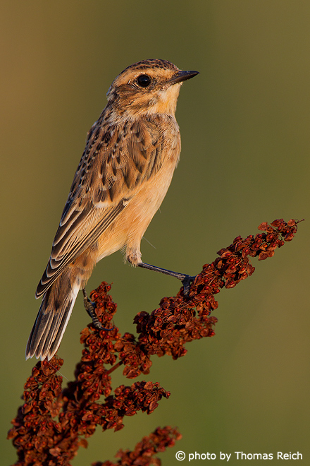 Whinchat diet