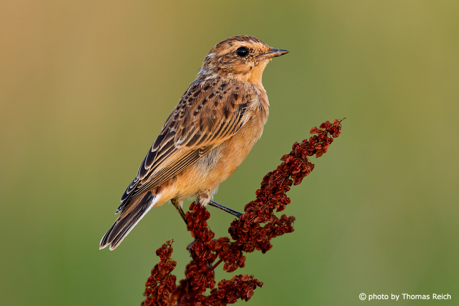 Whinchat female
