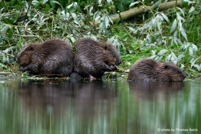 Juvenile Beavers eating branches