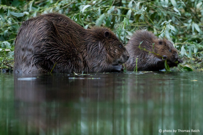 Beaver female with young
