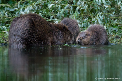 Beaver family Germany