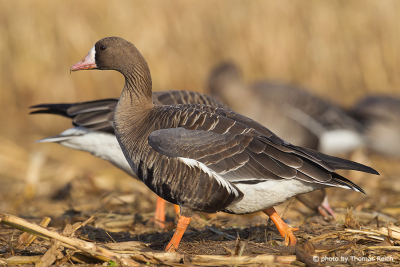 Greater White-fronted Goose feeding