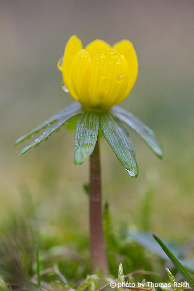 Yellow  winter aconite, Eranthis hyemalis