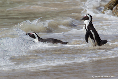 African Penguins in the water