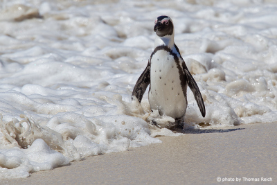 African Penguin in the surf