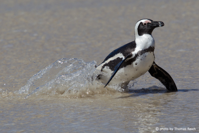 African Penguin at the beach
