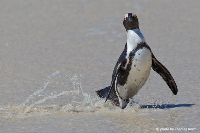 African Penguin waddling at the beach