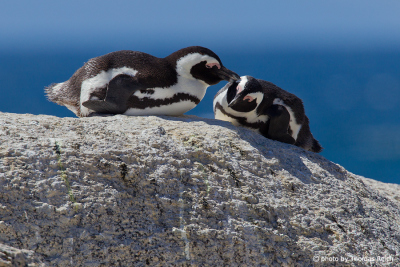 African Penguin Love