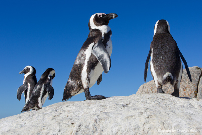African Penguins in Simon´s Town, South Africa