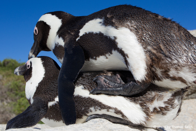 African Penguin Reproduction