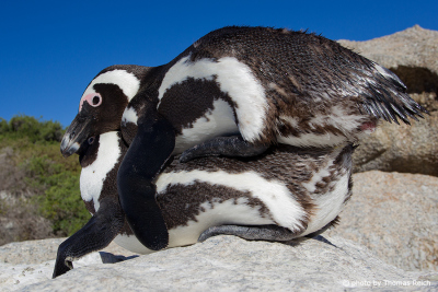 Reproduction African Penguin