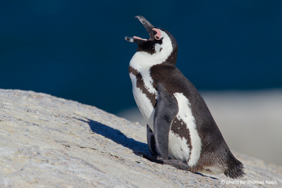 African Penguin call