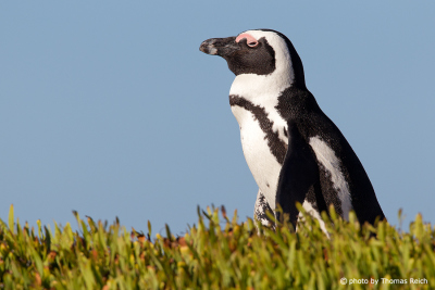 African Penguin at Cape Peninsula