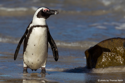 African Penguin in South Africa
