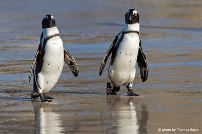 African Penguin male and female