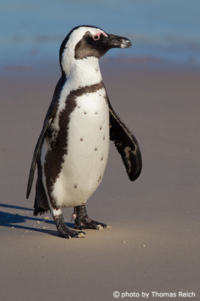 African Penguin can´t fly