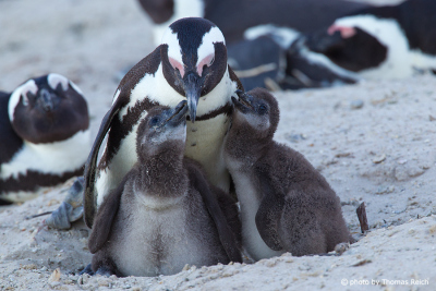 African Penguin with chicks
