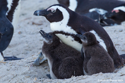 African Penguin family