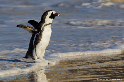 Brillenpinguin am Strand