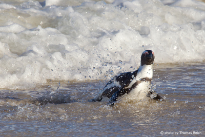 African Penguin swimming in the ocean