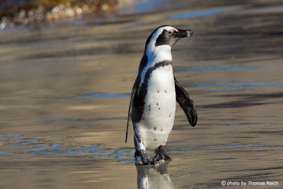 Brillenpinguin spaziert am Strand