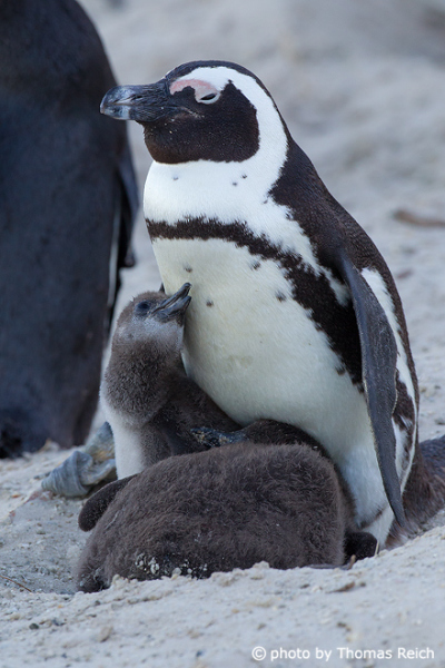 Colony of African penguins breeding on Boulders Beach in Cape Town